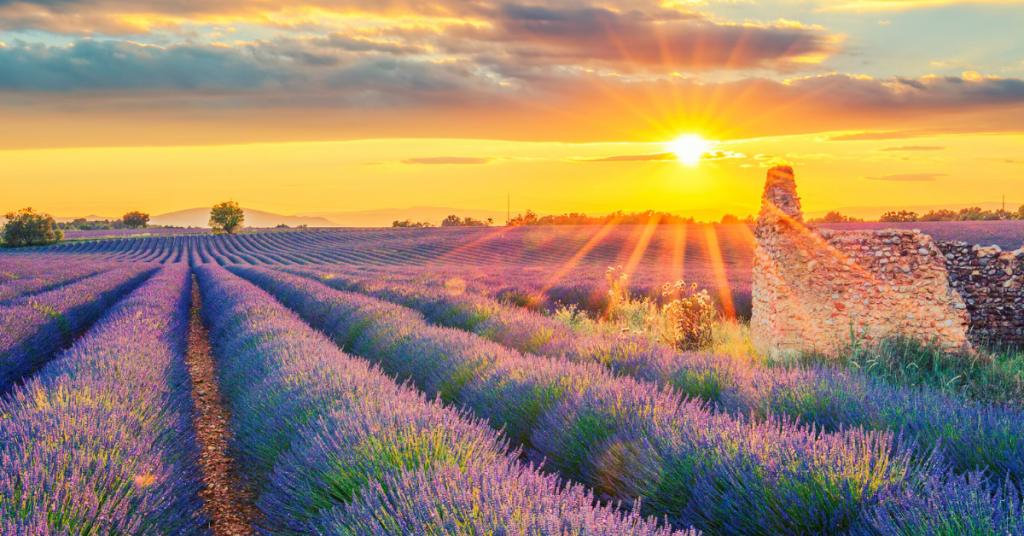lavender new nice