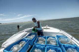 Bags of juvenile sea-cucumbers are acclimatised to the water temperature in the Bay of Assassins, before being released into pens. They will be harvested as adults in 9 months time.