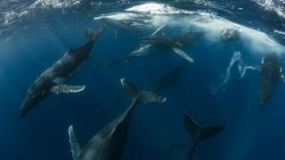 Dolphins dive next to humpback whales seen closer to the surface