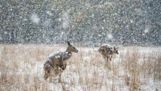 Two eastern grey kangaroos stand in a field in Kosciuszko National Park amid snowfall