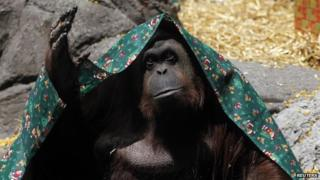 An Orang-utan named Sandra, covered with a blanket, gestures inside its cage at Buenos Aires